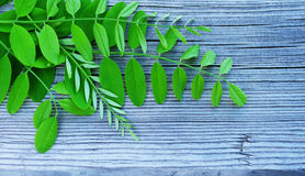 Green young leaves of an acacia on a wooden surface. Royalty Free Stock Images