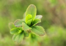 Green young leaves of barberry Royalty Free Stock Photography