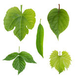Green young leaves royalty free stock image