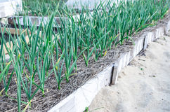 Green young leaves of leeks garlic growing in the field in garde Stock Image