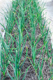 Green young leaves of leeks garlic growing in the field in garde Royalty Free Stock Image