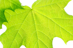 Green young leaves of the maple. Royalty Free Stock Photo