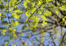 Green young leaves of mountain ash Stock Image