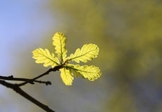 Green young leaves of oak Stock Images