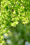 Green young leaves of Palmatum. Stock Photos
