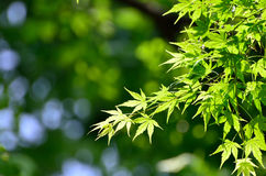 Green young leaves of Palmatum. Royalty Free Stock Image