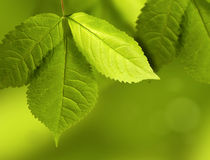 Green and young leaves. Three green leaves on a green background Royalty Free Stock Photography
