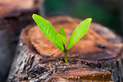 Free Green Young Little Tree Emerge From Wood Stump Stock Photos - 89106753