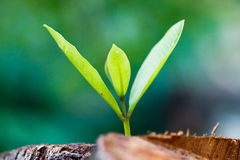 Green young little tree emerge from wood stump Royalty Free Stock Photos