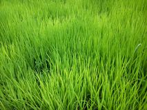 Green paddy in the rice field stock images