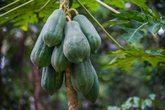 Green young papaya stock photo