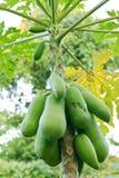 Green Young Papaya. Royalty Free Stock Photo