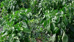 Green young peppers growing in  field or plantation stock video