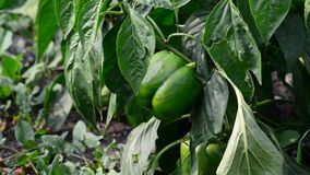 Green young peppers growing in  field or plantation stock footage