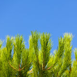Green Young Pine Brunch Stock Image