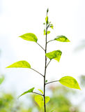 Green young plant Royalty Free Stock Photos