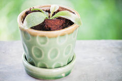 Green young plant in ceramic pot Stock Photography