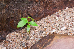 Green young plant growing through small rocks with flanked by brown stone. Royalty Free Stock Images