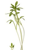 Green young plant isolated white background. macro Stock Photo