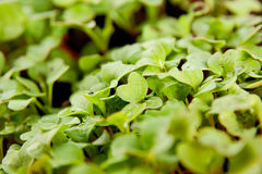 Green young radish sprouts in garden Royalty Free Stock Images