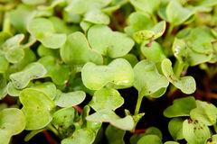 Green young radish sprouts in garden Royalty Free Stock Photo