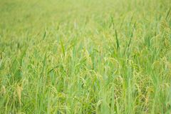 Young rice in farm. Green young rice in farm Royalty Free Stock Image