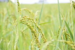 Young rice in farm. Green young rice in farm Royalty Free Stock Photos