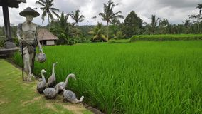 Green young rice field in Bali. Indonesia royalty free stock photography