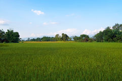 The Green young rice in the field rice Royalty Free Stock Photos