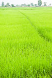 Green young rice in paddy field Stock Images