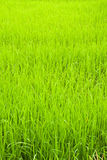 Green young rice in paddy field Royalty Free Stock Photos