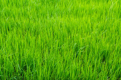 Green young rice in paddy field Royalty Free Stock Photo
