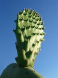 Green young Sagauro Cactus. On a blue sky Royalty Free Stock Image