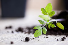 Green, young seedling tomatoes Royalty Free Stock Photography