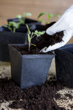 Green, young seedling tomatoes Stock Photography