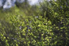 Green young shoots of the bush in the spring. Green young shoots of the bush are drawn toward the sun in the background is beautiful bokeh in the springtime royalty free stock photo