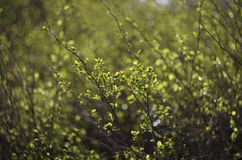 Green young shoots of the bush in the spring. Green young shoots of the bush the sun-drenched on the background of beautiful bokeh in the spring stock image