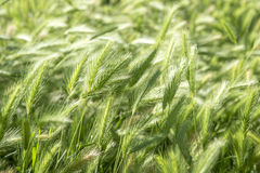Green young spikelets on green background. Green young spikelets on green background Stock Photo