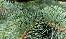 Green young spruce 2018. Soon Christmas. It`s time to prepare for Christmas. Green spruce in the forest. On a snowy day, buy and decorate the Christmas tree Stock Photography