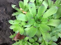 Green Young or Stone Rose Sempervivum . Close up With the Natural stone background. Royalty Free Stock Photography