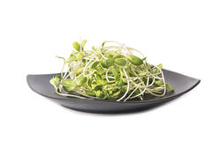 Green young sunflower sprouts Stock Photo