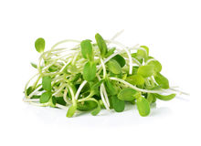 Green young sunflower sprouts Royalty Free Stock Photography