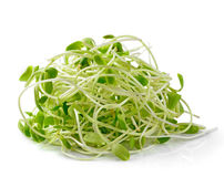 Green young sunflower sprouts Stock Image