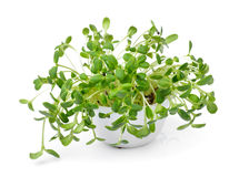 Green young sunflower sprouts Stock Images