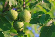 Green young walnut fruits. Royalty Free Stock Photo