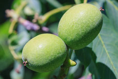 Green young walnut fruits. Stock Images