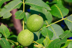 Green young walnut fruits. Royalty Free Stock Photos