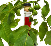 Green young walnuts royalty free stock photo