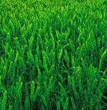 Green young wheat Royalty Free Stock Photo