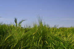 Green young wheat at the middle of the field. Young wheat at the middle of the field Royalty Free Stock Image